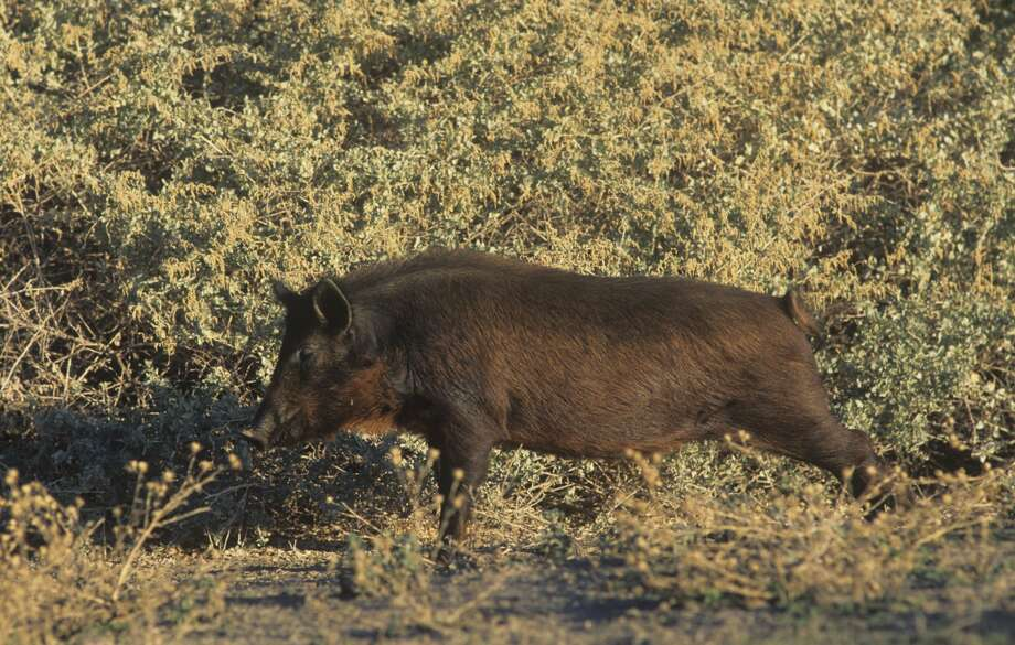A California feral wild boar, the direct result of George Gordon Moore's hunting escapades in the 1920s. Photo: Steve Maslowski/Getty Images/Visuals Unlimited