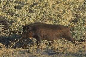 A California feral wild boar.