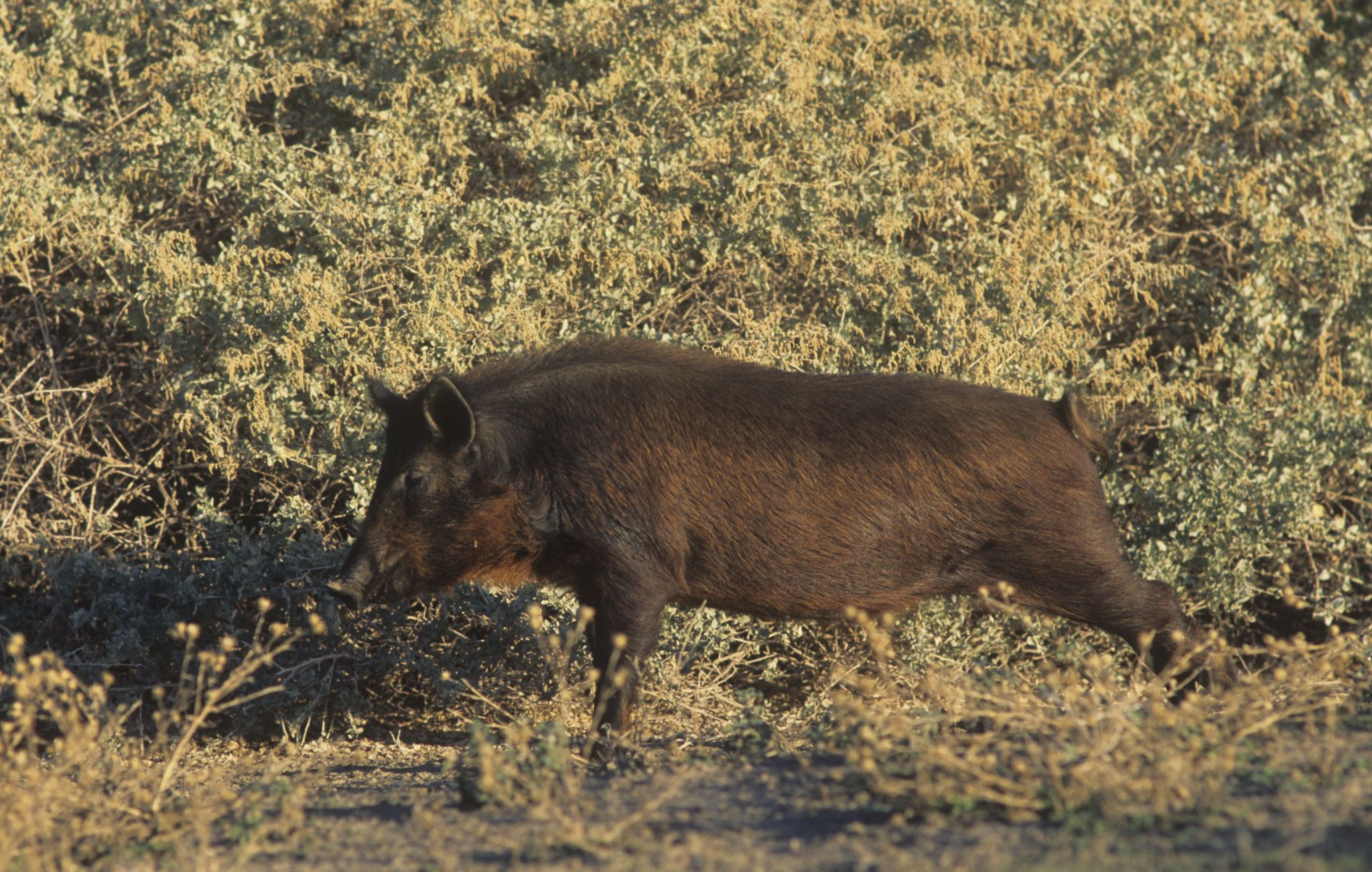 One eccentric socialite is to blame for California's wild pig problem