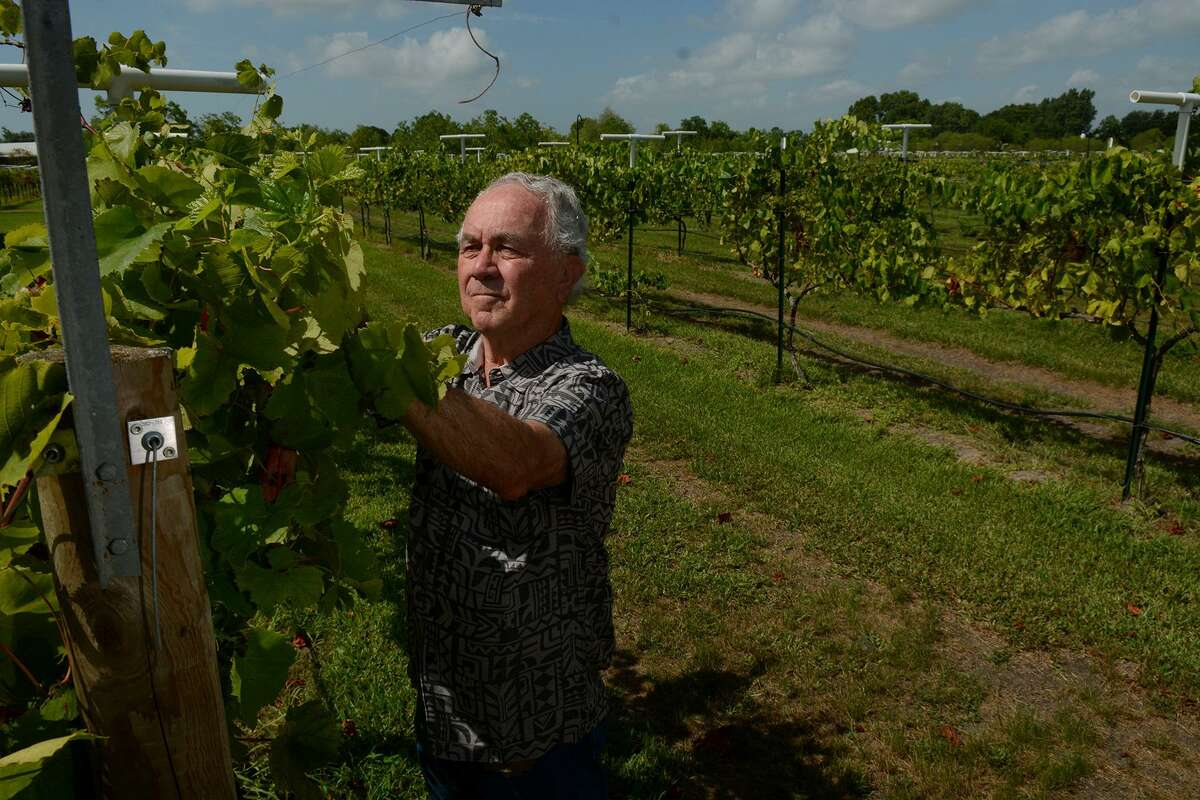 Raymond Haak, owner of Haak Vineyards & Winery in Santa Fe, checks for drooping vines on the three acres of Blanc du Bois berries during a walk-around. Ron Saikowski predicts the Gulf Coast will continue to grow even more Blanc du Bois, of which Texas is the largest grower of Blanc du Bois in the world.