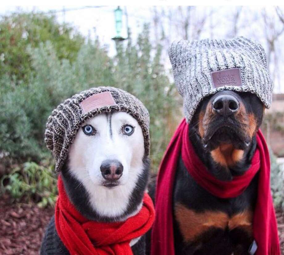 Dogs model the hats that were donated to Winsted's shelter by the Community Health & Wellness Center in Torrington. Photo: CHWC / Contributed Photo