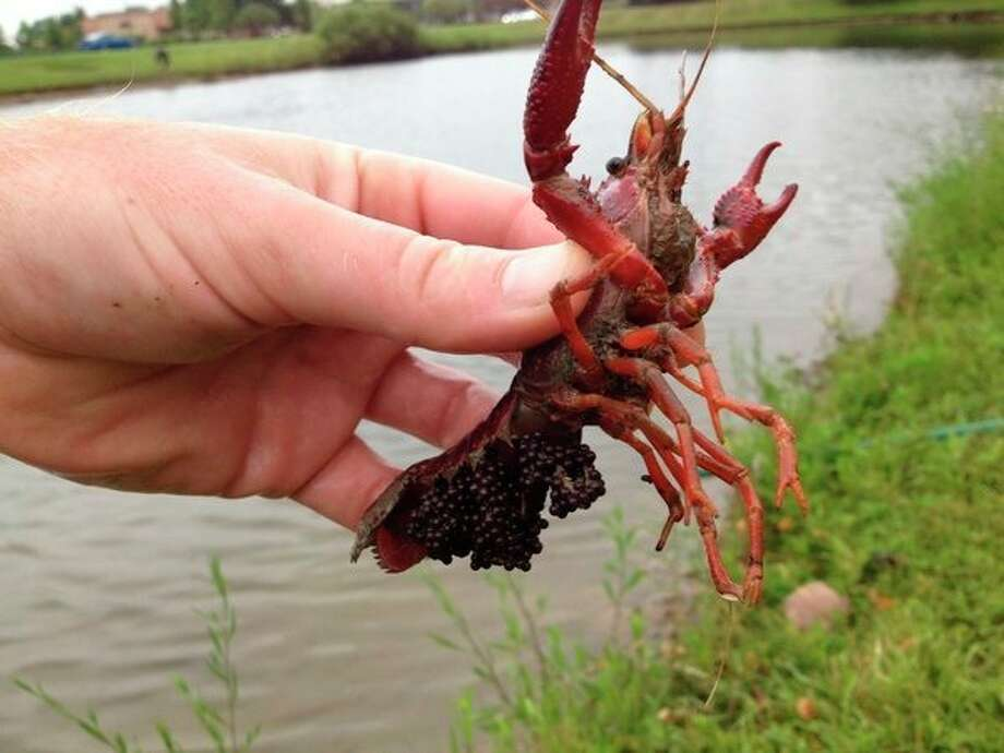 Understanding the behaviors of invasive red swamp crayfish, like this female pulled from a detention pond in Novi, Michigan will aid in efforts to control and reduce their populations. (Courtesy Photo)