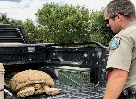 After receiving a call about a big turtle in the middle of a highway, a Schleicher County game warden discovered a sulcata tortoise that had busted out of its enclosure and returned it to its owner.