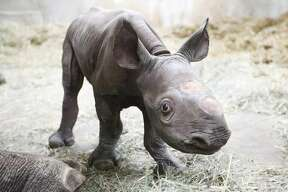 A black rhino calf was born at Potter Park Zoo in Lansing, Michigan at 5:40 a.m. Dec. 24. Doppsee, the zoo's 12-year old female black rhino, gave birth to her very first calf, a male.