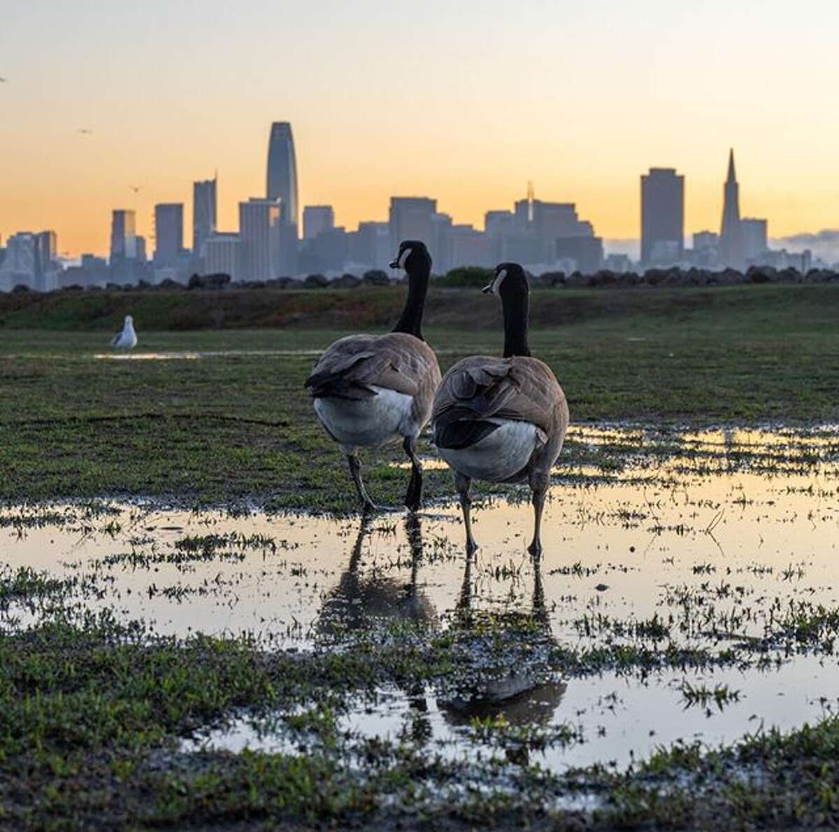 @conloncreatives found some geese strolling on Treasure Island after a recent rain.
