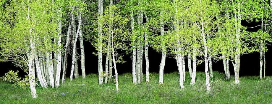 """""""Aspens"""" by Judith Secco Photo: Judith Secco / Contributed Photo"""