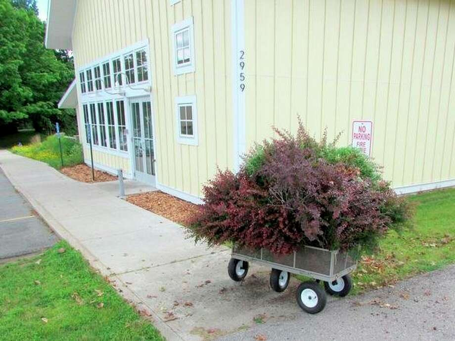 Brewery Terra Firma, in Traverse City, removed Japanese barberry from its premises in late summer as part of the Go Beyond Beauty program hosted by Northwest Michigan Invasive Species Network (ISN). The ISN and its fiduciary, the Grand Traverse Conservation District (GTCD) recently announced they have been awarded grant funding that will allow ISN to take its innovative program, Go Beyond Beauty statewide. (Courtesy photo)