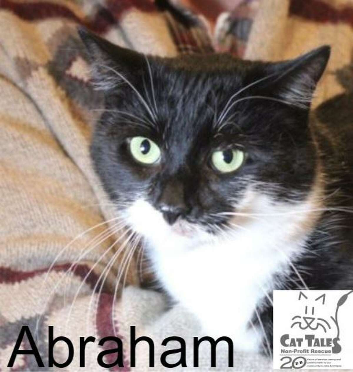 """Abraham, a black and white male about a year old, is waiting for his forever home. He says, """" I'm a very sweet kitty, love to be petted and like to play. I sometimes like to be held, when I'm in the mood. Cat Tales is taking good care of me now and I have a small surgery coming up. I will be ready to go home very soon, so in the meantime I'd love for you to come meet me! Maybe I'm that kitty you've been looking for."""" Visithttp://www.CatTalesCT.org/cats/Abraham, email: info@CatTalesCT.org or call 860-344-9043 . Watch our TV commercial: https://youtu.be/Y1MECIS4mIc"""