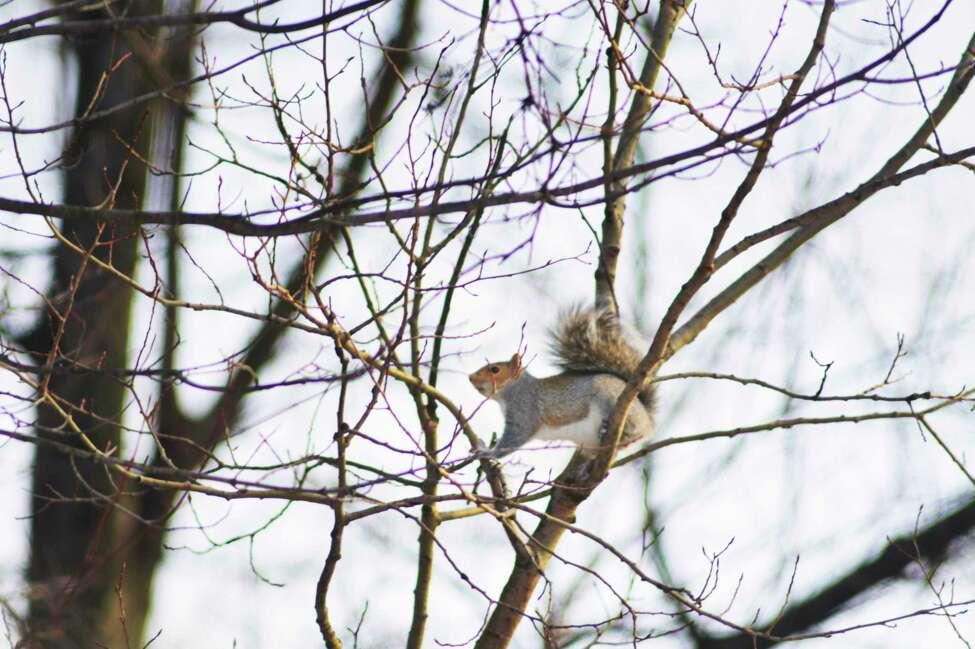 A squirrel travels along tree branches on Thursday, Dec. 26, 2019, in Colonie, N.Y. (Paul Buckowski/Times Union)
