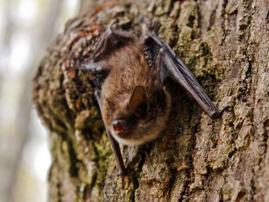 Little brown bats were the most commonly detected bat in the park during summer surveys in 2016 and 2017. This state endangered species may be reproducing there. Photo: Erickson Smith / National Park Service / Brucemuseum.org
