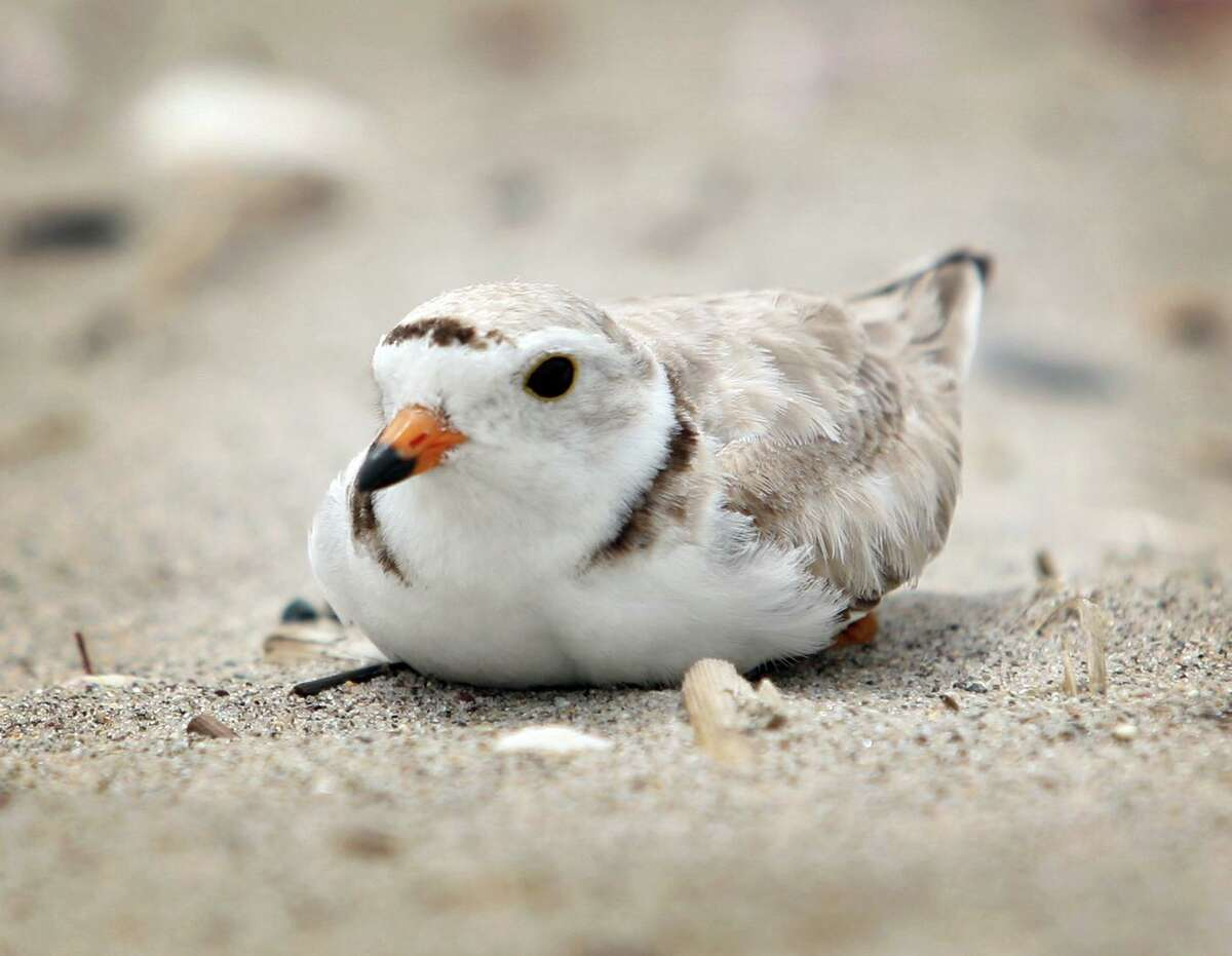 A nesting Piping Plover sits on her eggs in a roped off enclosure on Cedar Beach in Milford. Plovers lay their eggs in the open sand, which makes them hard to protect against predators and beachgoers who can accidentally step on the sand colored eggs. The piping plover made Connecticut Audubon's Birds of the Year for 2019.