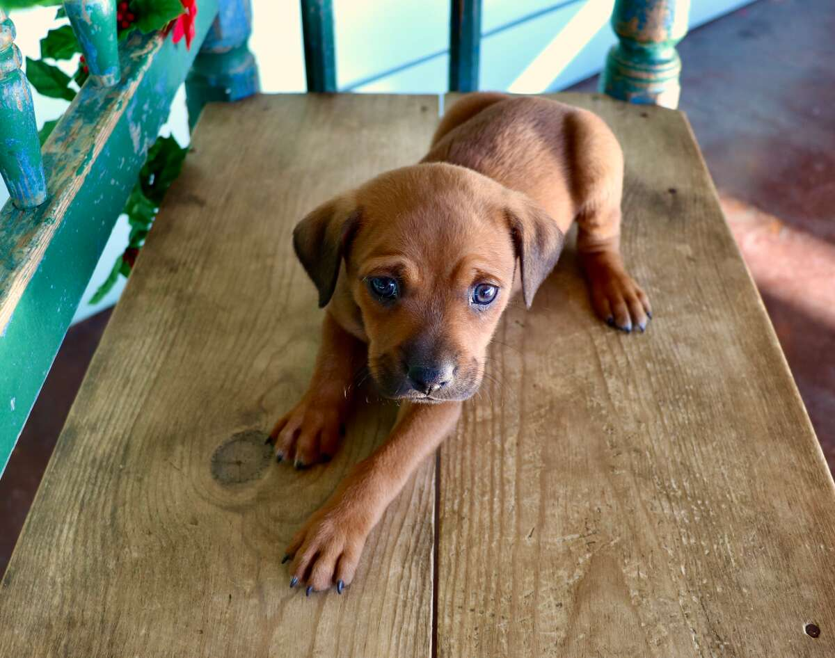 Spay-Neuter-Inject-Protect San Antonio, or SNIPSAis searching for any information on a puppy that was believed to be stolen at an adoption event the non-profit organization hosted on Saturday, Dec. 21 at Neiman Marcus located at The Shops at La Cantera.