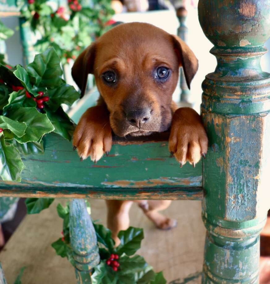Spay-Neuter-Inject-Protect San Antonio, or SNIPSAis searching for any information on a puppy that was believed to be stolen at an adoption event the non-profit organization hosted on Saturday, Dec. 21 at Neiman Marcus located at The Shops at La Cantera. Photo: SNIPSA