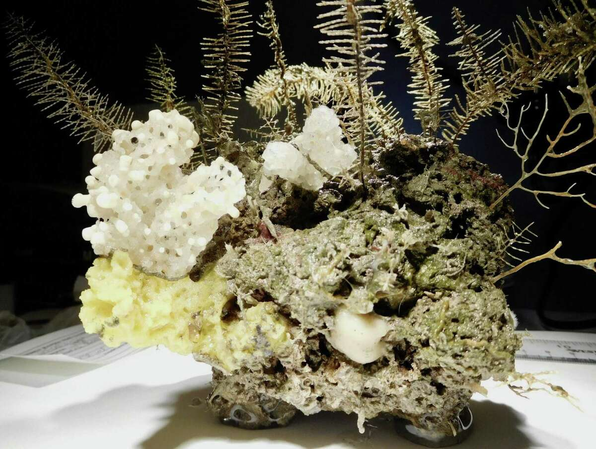 This grouping of sponges and black coral was discovered and collected during a week-long research cruise into the Gulf of Mexico in August. Researchers will use these specimens to learn more about the coral reef systems in the Gulf.