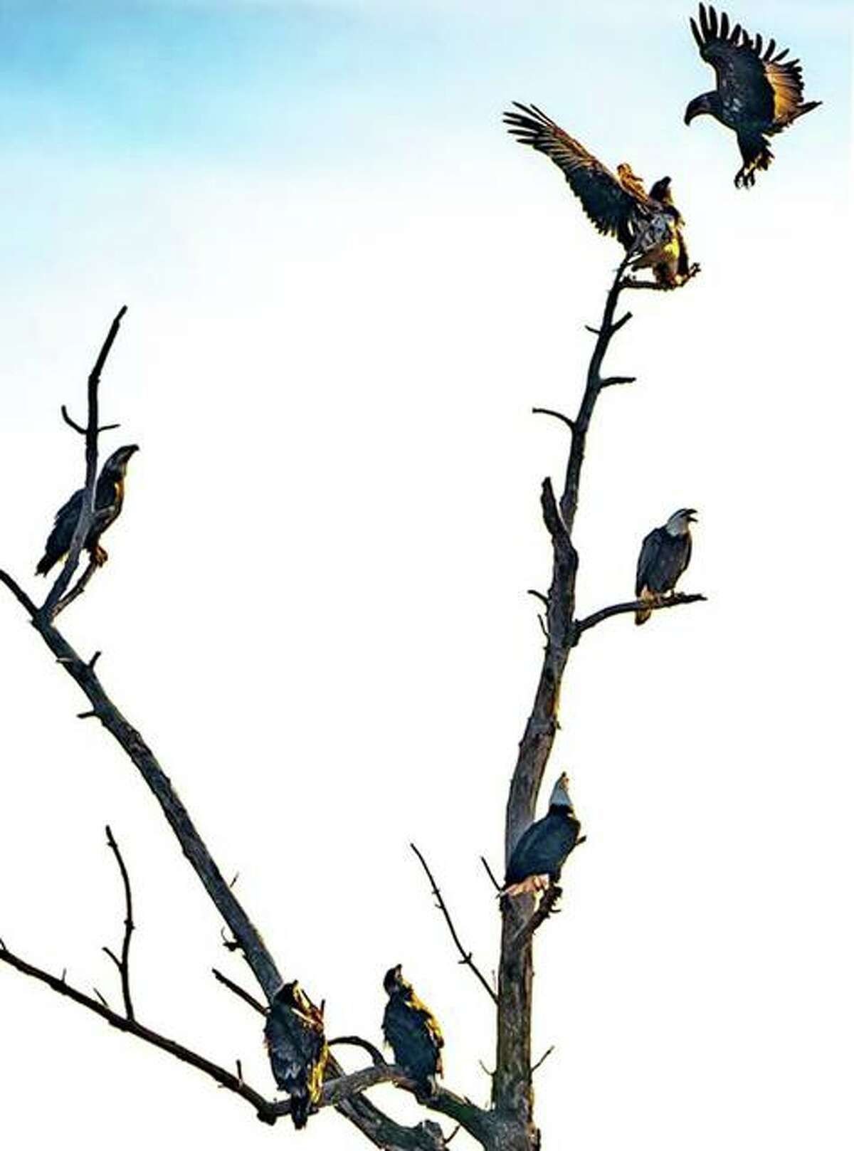 Eagles seen in the Riverlands Migratory Bird Sanctuary, West Alton, last year.