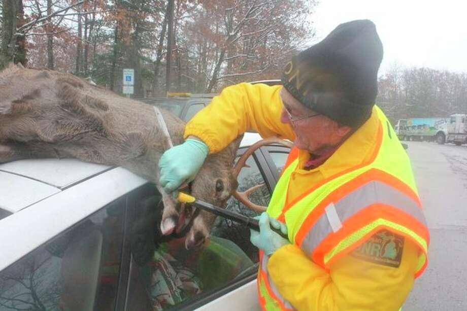 Rodney's Jeff Greene, a former wildife biologist, checks on a deer at a check station during the 2018 deer hunting season. (Pioneer photo/John Raffel)