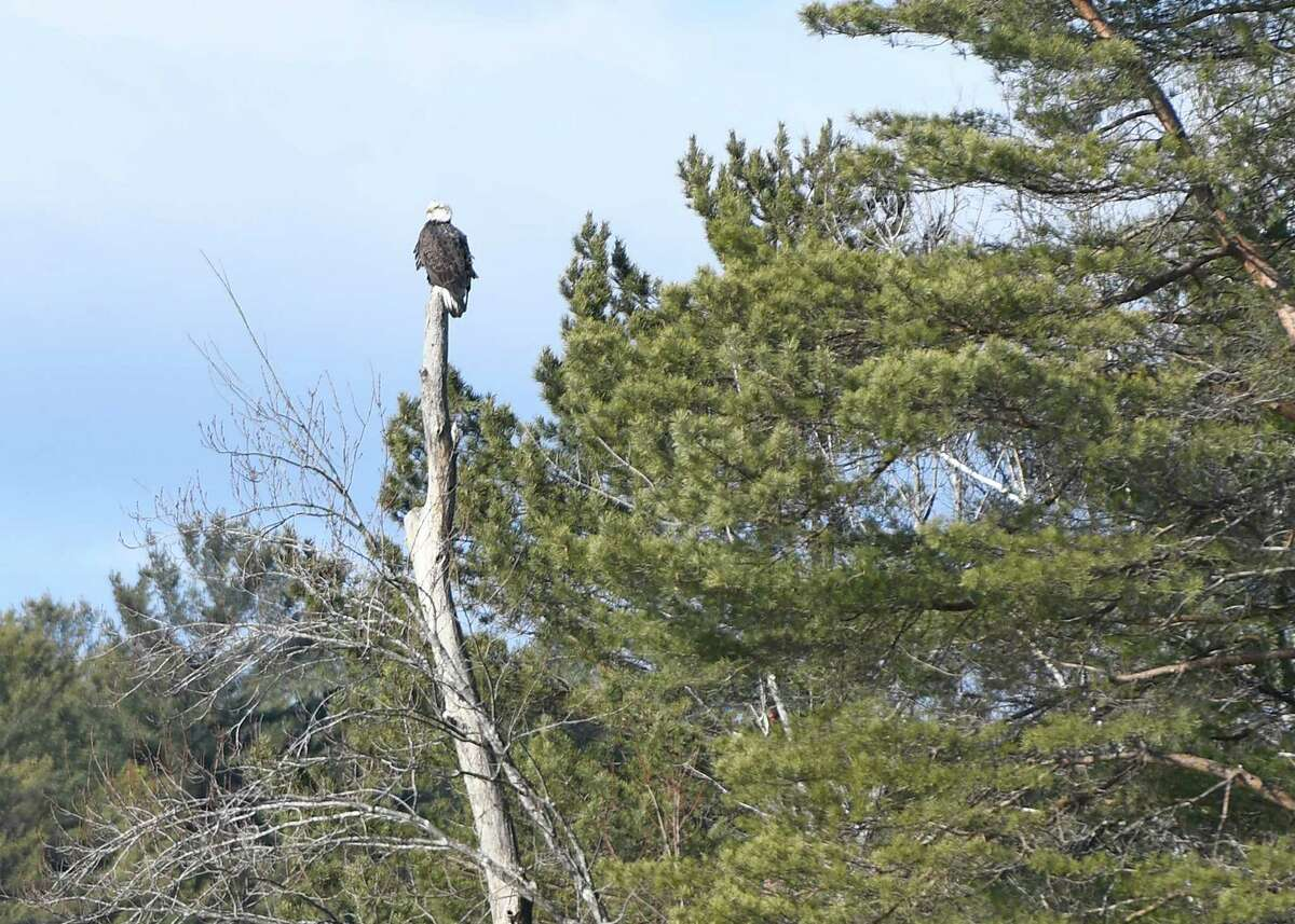 A bald eagle is seen across the Sacandaga River by Stewart Dam during a weekly bald eagle survey led by naturalist Gary Hill in Hadley, N.Y., on Saturday, Dec. 28, 2019. (Jenn March, Special to the Times Union )