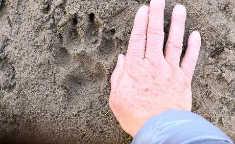 Hikers came in the Presidio came across this mystery track -- that dog walkers believed might be a mountain lion