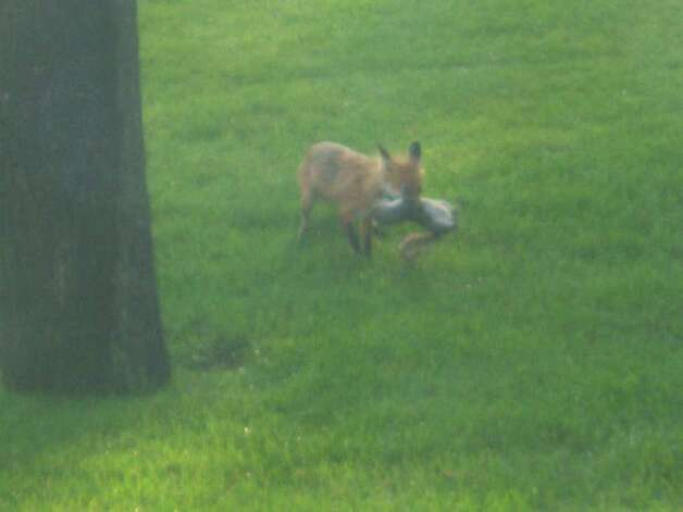 Paul Brucker of Guilderland took this picture of a red fox capturing a squirrel in his backyard last month. ( Photo courtesy of Paul Brucker )