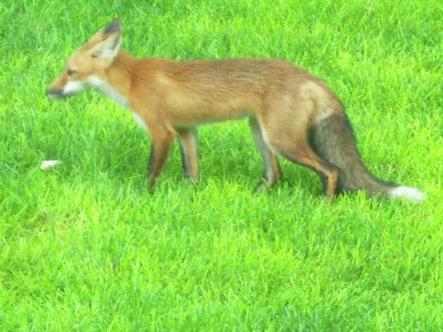 Paul Brucker of Guilderland took this picture of a red fox in his backyard last month. There have been many reported sightings of foxes in the suburban town this summer. ( Photo courtesy Paul Brucker )