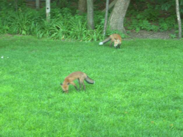 Paul Brucker of Guilderland took this photo of two juvenile red foxes in his backyard last month. ( Photo courtesy of Paul Brucker )