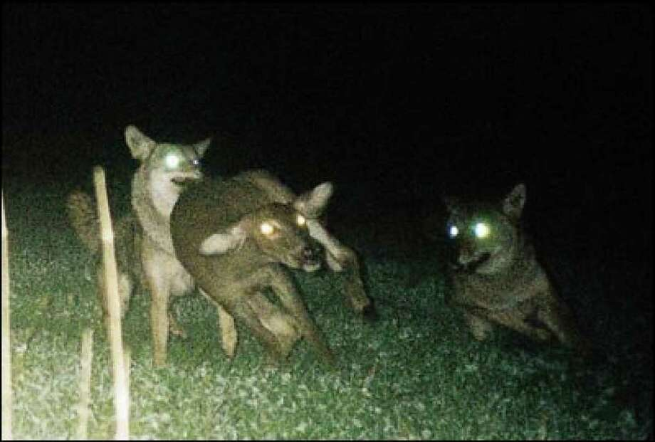 Jim Hens of Guilderland used a camera trap to get this dramatic night photo in the Pine Bush of two coyotes taking down a deer. ( Photo courtesy of Jim Hens )