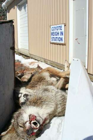 More than 100 coyotes were shot during a mass killing of coyotes at a fundraiser for a rod and gun club in Pennsylvania. ( Photo courtesy Roland Kays )