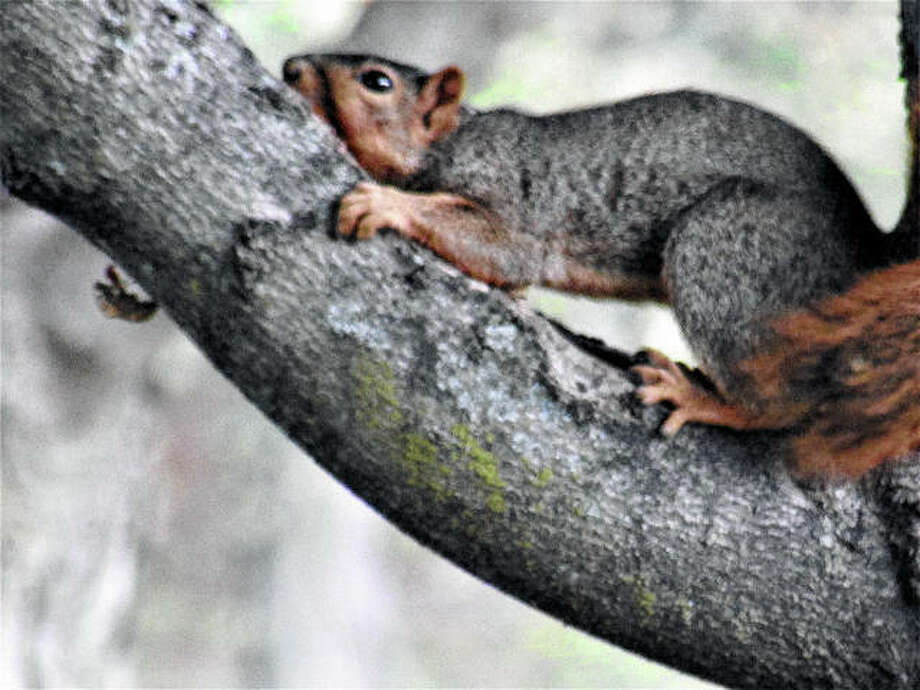 Happy scamper: A squirrel climbs a tree while scampering from place to place in a back yard in Murrayville. Beverly Watkins   Reader photo