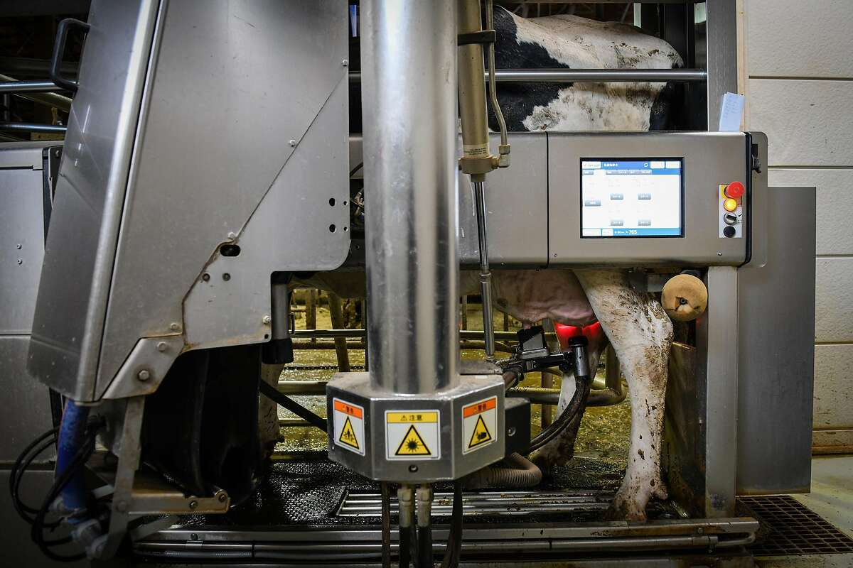 A cow is milked by a machine at the Kalm dairy farm in Ebetsu, on Hokkaido, Japan, Nov. 6, 2019. With a declining population and workers in short supply, Japan has fully embraced robots, but getting them to work to 'the standard of humans' is often a challenge. (Noriko Hayashi/The New York Times)