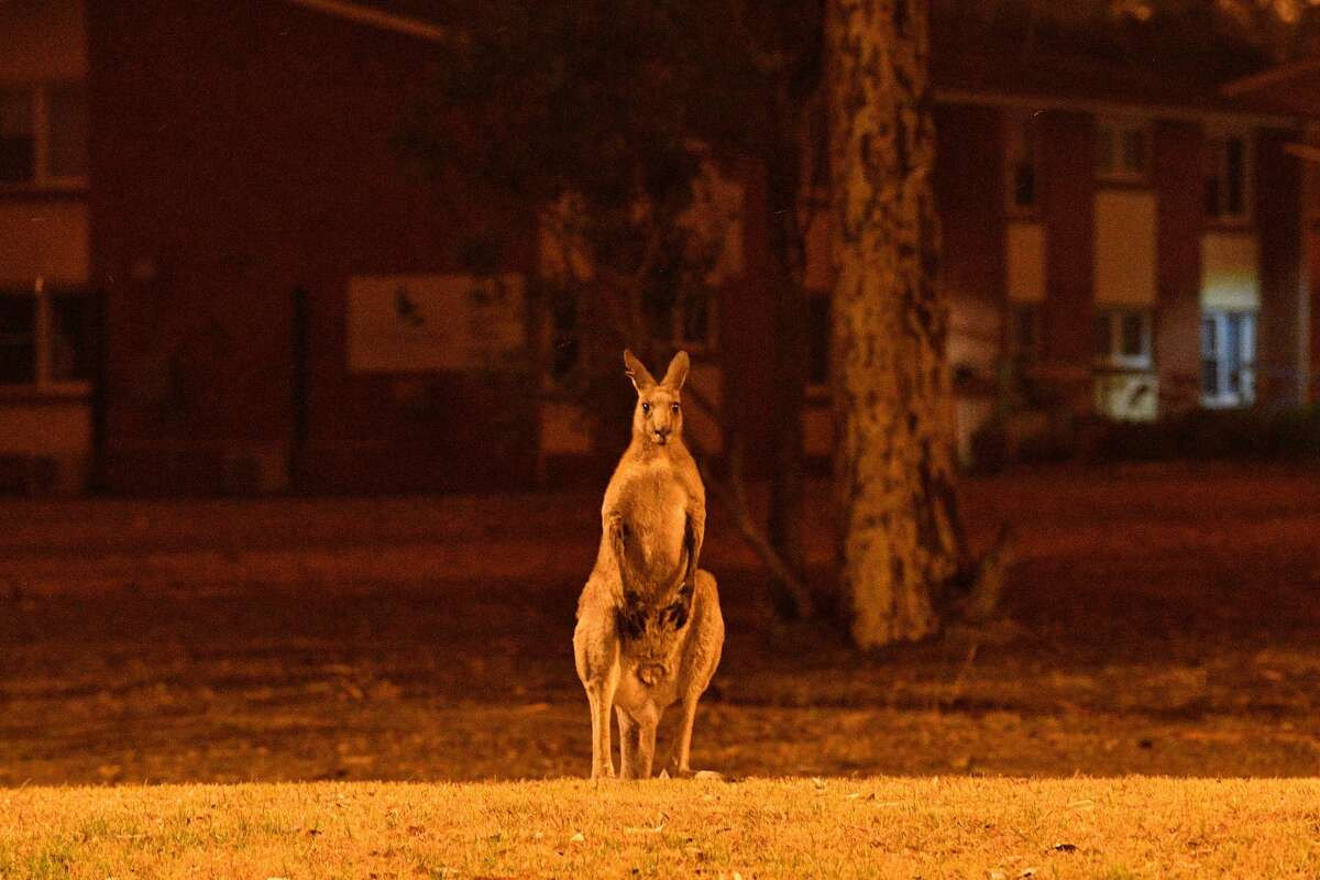 This picture taken on December 31, 2019 shows a kangaroo trying to move away from nearby bushfires at a residential property near the town of Nowra in the Australian state of New South Wales.
