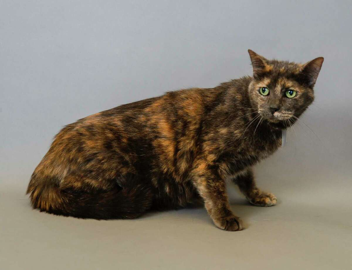 Sally (A1670195) is a 12-year-old, female, Tortie Domestic Short Hair cat available for adoption from the BARC Animal Shelter. Photographed, Tuesday, Dec. 31, 2019, in Houston. Sally is a sweet senior girl. Citizen stated she he had the cat for 12 years, and stated that they are moving to a new home and can not take Sally with them and also stated his son in law is allergic to the cat who is also declawed.