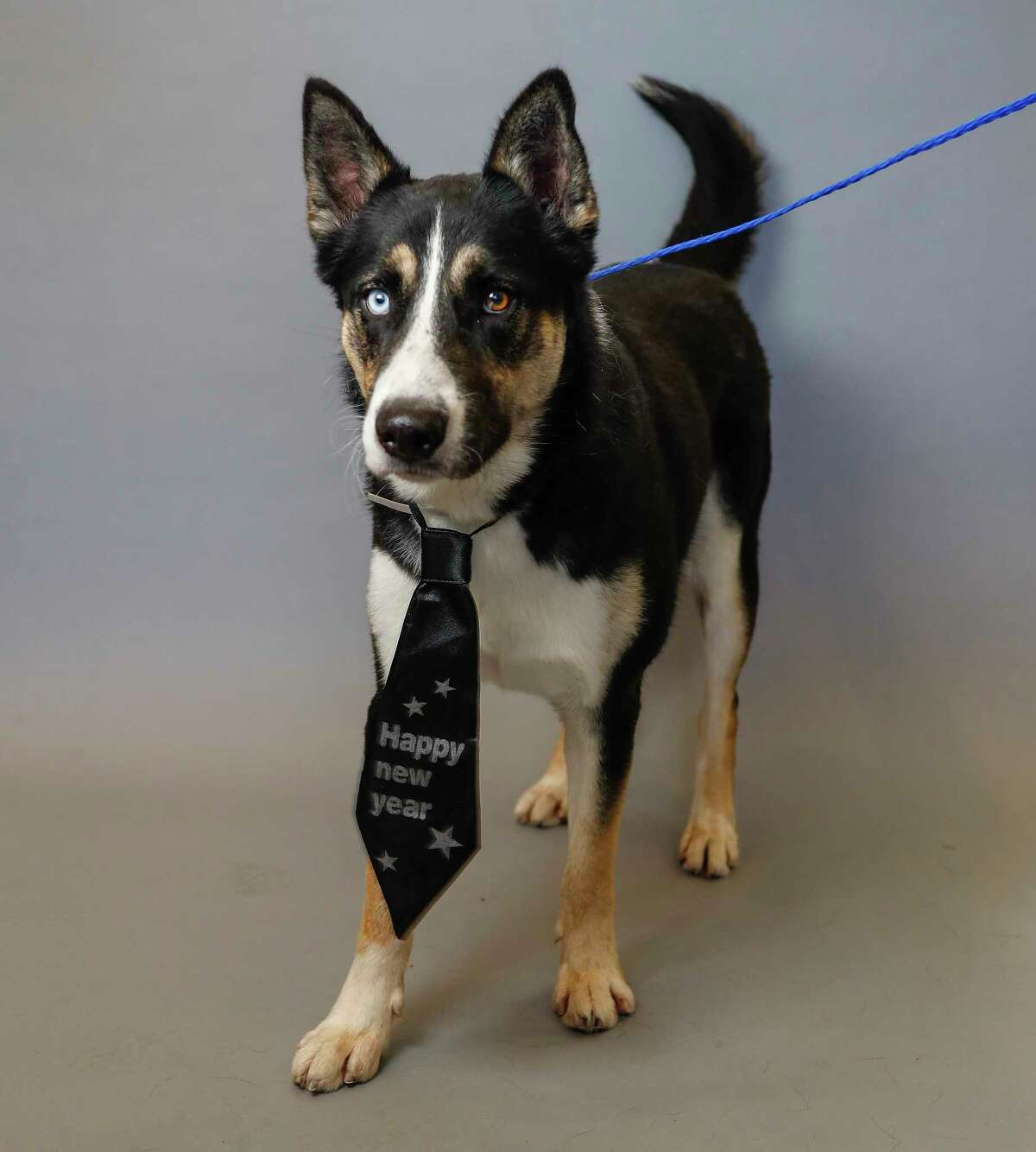 Diego (A1664241) is a 1-year-old, male, tricolor Collie/ Siberian Husky mix available for adoption from the BARC Animal Shelter. Photographed, Tuesday, Dec. 31, 2019, in Houston. Diego is a sweet dog, who walks great on a leash. Diego was adopted out in November and was found as a stray in December. BARC has reached out, but unable to reach the adopter, but no owner has come forward.