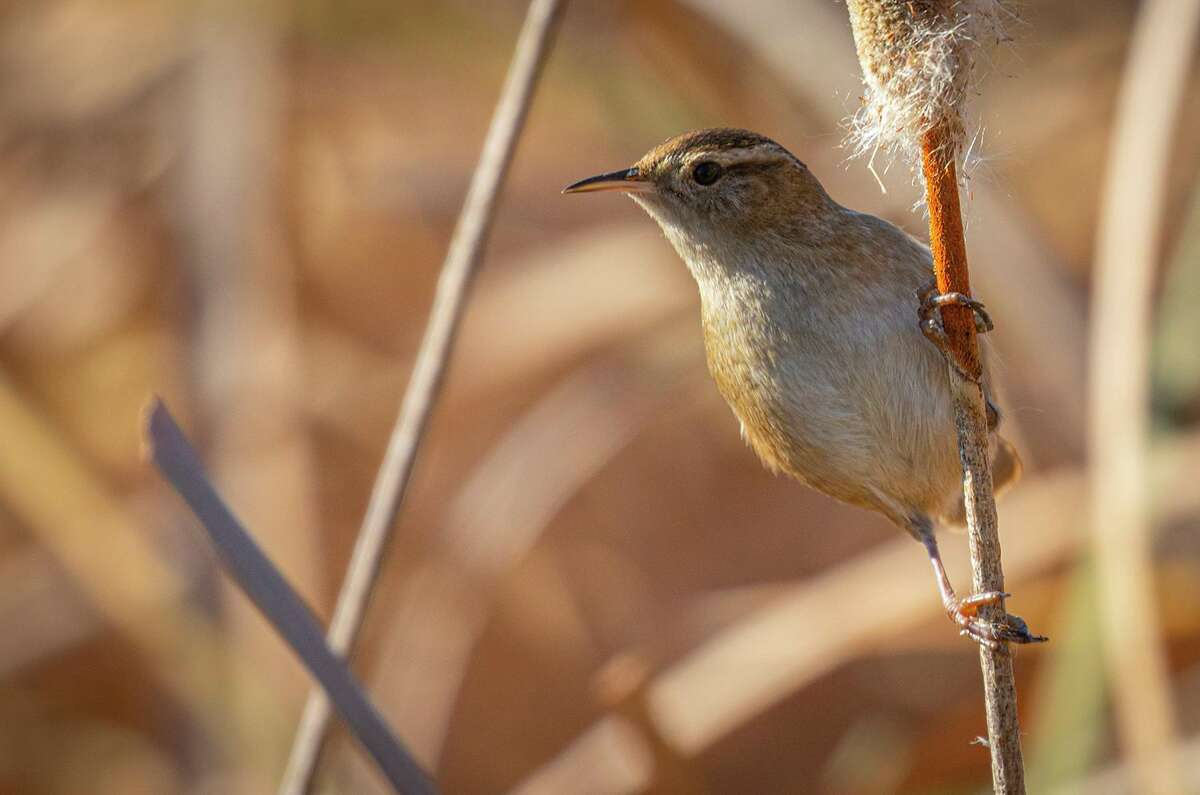 A marsh wren pops up on a cattail along the nature trail at Rio Grande Village in Big Bend National Park.