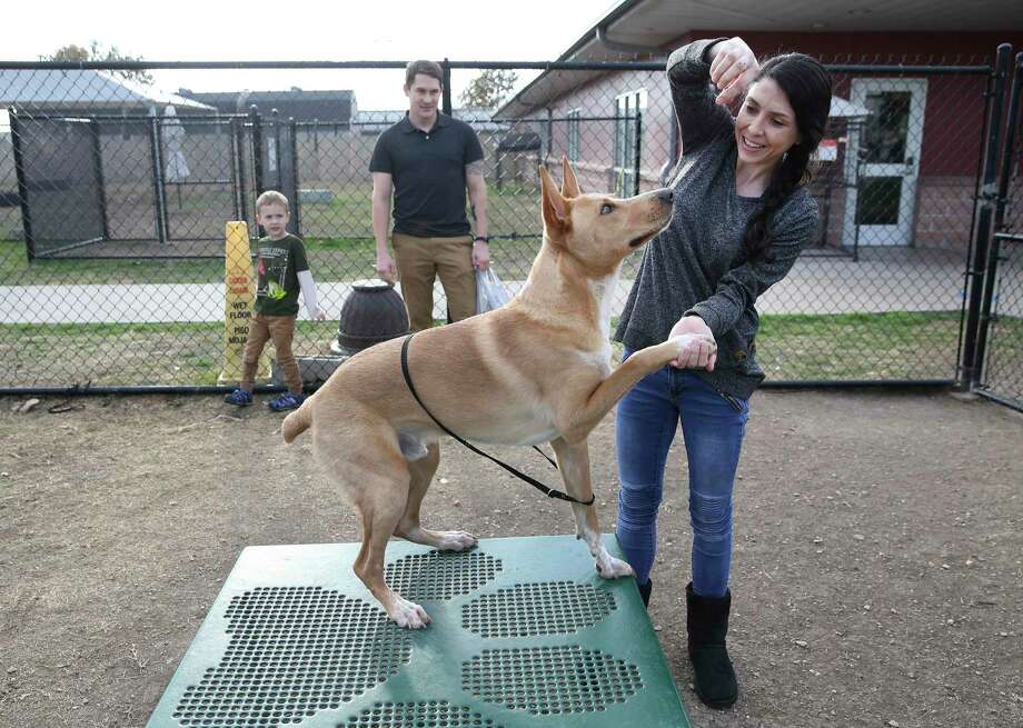"""Mallory Krug (right) works with lab mix as potential adoption families pay a visit to Animal Care Services on Thursday, Jan. 2, 2020 as the shelter prepares to kick off the new year with the """"New Year, Used Pet"""" adoption event starting on Friday. Krug was there with her husband Conner Wright and their five-year-old son Indy. ACS will offer discounted fees of $15 to $25 for dogs and $5 for cats for three days only. All ACS pets have sterilization surgery, vaccinations and a microchip. The shelter is located at 4710 State Highway 151 off Old Highway 90. Animal Care Services will open Friday at 11 a.m. for those interested in pet adoption. Photo: Kin Man Hui, San Antonio Express-News / Staff Photographer / **MANDATORY CREDIT FOR PHOTOGRAPHER AND SAN ANTONIO EXPRESS-NEWS/NO SALES/MAGS OUT/ TV OUT"""