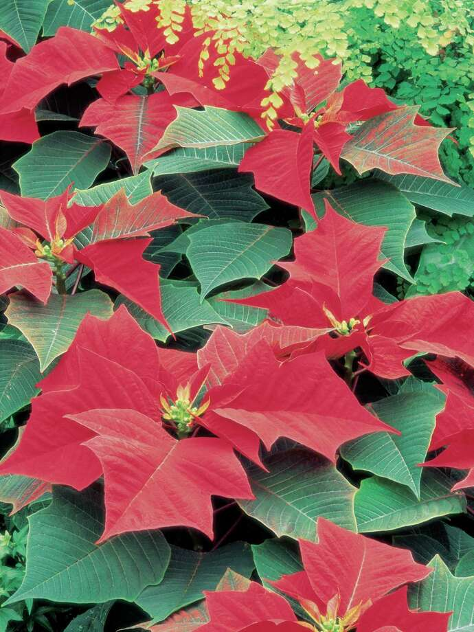 Poinsettia Photo: Liquidlibrary / VIP File / (C) 2005 Liquidlibrary