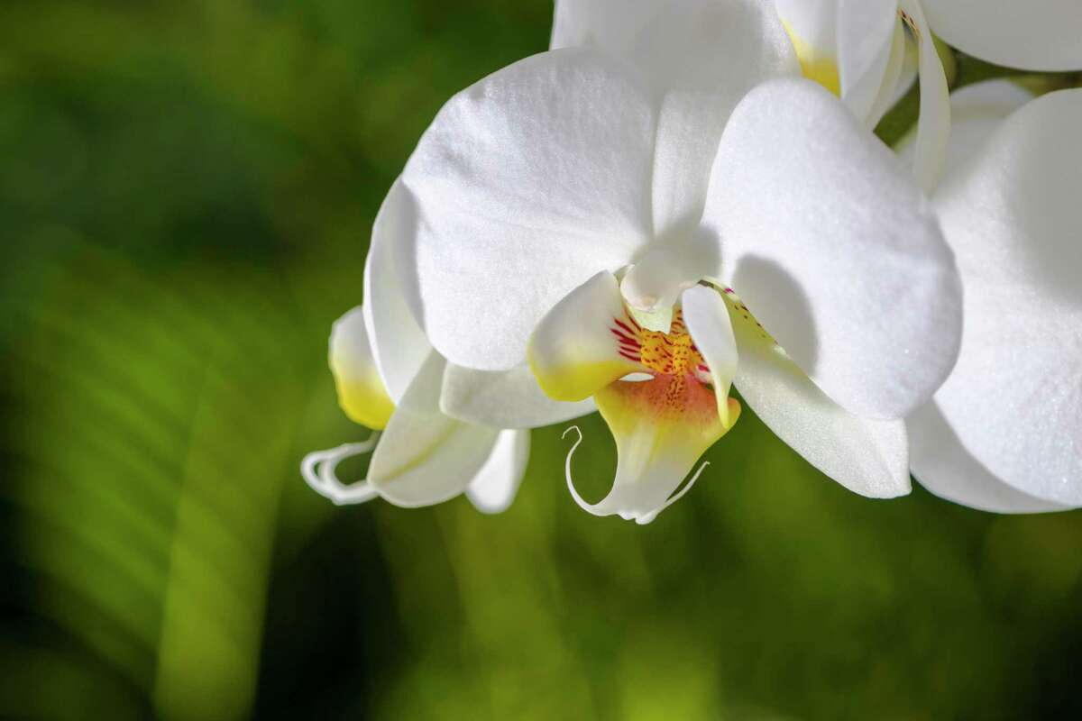 A close up of a white and purple blossom of an Orchid (lat. Phalaenopsis) blooming.
