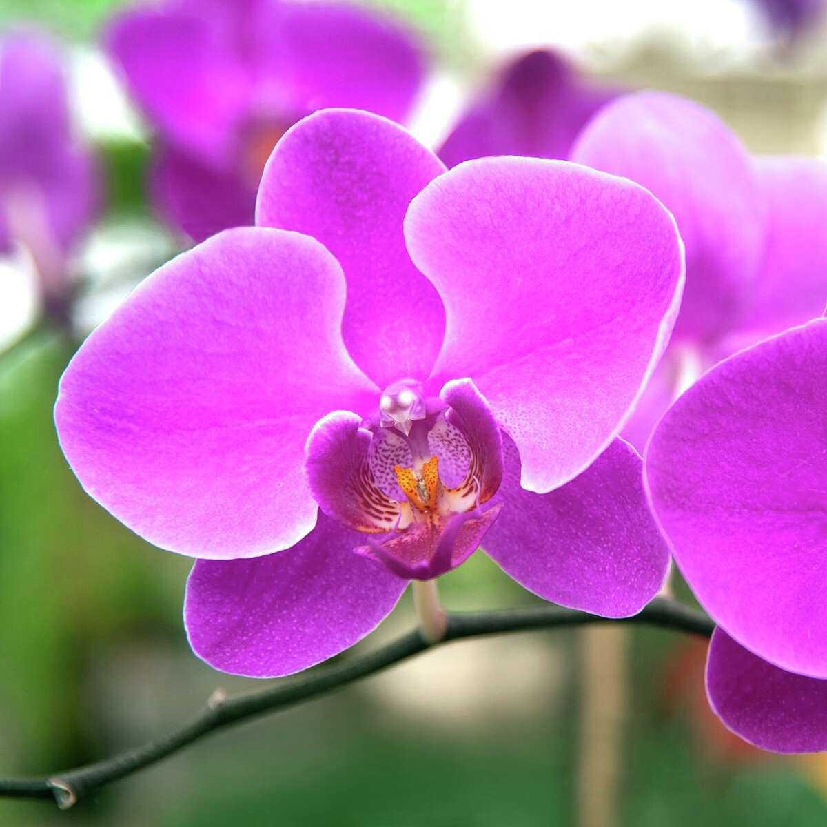 Phalaenopsis orchid or moth orchid is a very easy and rewarding orchid to grow.