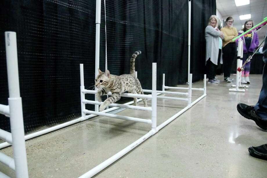 The Gulf Coast Feline Foundation returns to Deer Park's Jimmy Burke Activity Center, 500 West 13th St Jan. 24-26. Features will be a cat agility course. Photo: Pin Lim, Contributer / For The Chronicle / Copyright Forest Photography, 2019.