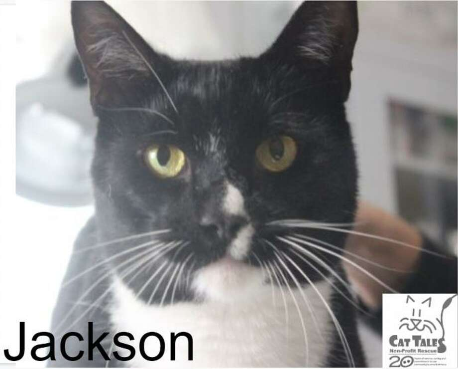 """Jackson is a 1-year-old tuxedo male. He says, """"I was found abandoned outside Cat Tales. I'm very sweet, affectionate boy, love to be petted and love attention. I still need some vetting, so I am not quite ready to go home yet. A family with older children, possibly another non-dominant cat is okay, but absolutely no dogs. Please come meet me and see what a wonderful companion I would be."""" Visit http://www.CatTalesCT.org/cats/Jackson, emailinfo@CatTalesCT.org, or call860-344-9043. Watch our TV commercial: https://youtu.be/Y1MECIS4mIc Photo: Contributed Photo"""