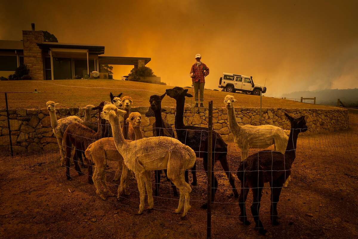 Jill Rose cools off her alpacas with a wildfire in the vicinity in Tomerong, New South Wales, Australia, Jan. 4, 2019. High winds and temperatures over 100 degrees Fahrenheit were likely to exacerbate fires already raging out of control on Saturday; Officials in New South Wales said they expected to lose more houses over the weekend. (Matthew Abbott/The New York Times)