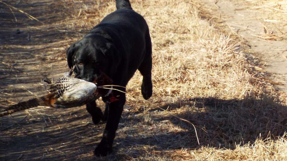 Jeb, a burly black lab with lots of personality, was a key player during a recent pheasant hunt in Kansas. (Photo by Will Wyatt/Special for the Chronicle)