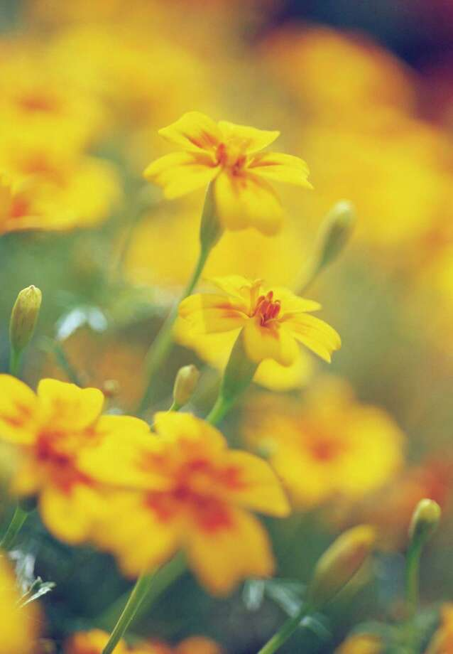 Marigolds in the garden ward off bugs. Photo: FlowerPhotos / Getty Images / Universal Images Group Editorial