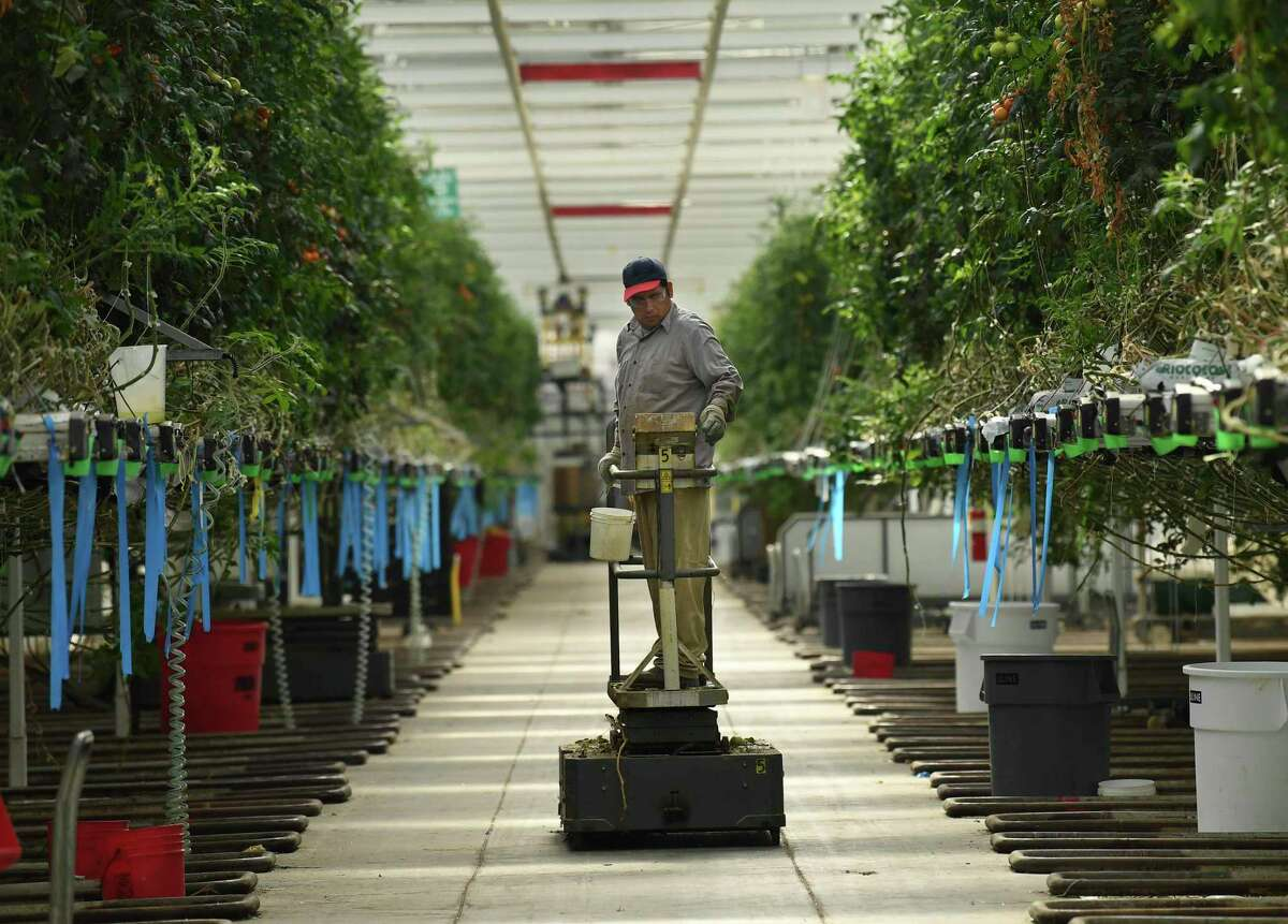 This greenhouse at Valley Farms in Monahans, Texas, is currently used to grow tomatoes. It will soon be converted to growing hemp.