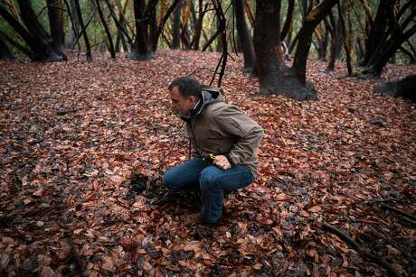 Jason Passalacqua searches for mushrooms in a wet forest area west of Dry Creek Valley in Healdsburg, Calif., on Wednesday, December 18, 2019.  Starting towards the end of January, Passalacqua and winemaker Jessica Boone, take groups of people to forage for mushrooms at the secret location.