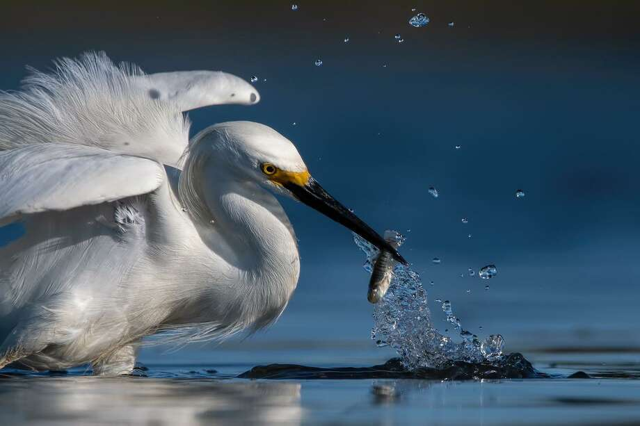 John Owen Photo: Snowy Egret