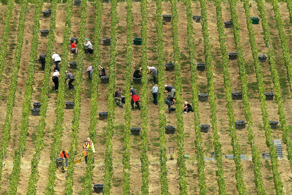 (FILES) In this file photo taken on September 11, 2019 shows people working during the harvest in the vineyards in Ay, in the northeastern French champagne region. - Climate change has affected French winegrower in 2019 with fires and heatwaves affecting the country. (Photo by FRANCOIS NASCIMBENI / AFP) (Photo by FRANCOIS NASCIMBENI/AFP via Getty Images)