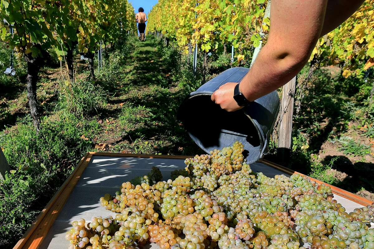 """RIQUEWIHR, FRANCE - OCTOBER 11: Jean-Fr√�d√�ric Hugel places Riesling grapes on drying mats as his family selectively harvests the iconic Alsace grapes to make their once in a generation Vin de Paille wine in their Schoenenbourg """"Grossi Laue"""" Grand"""