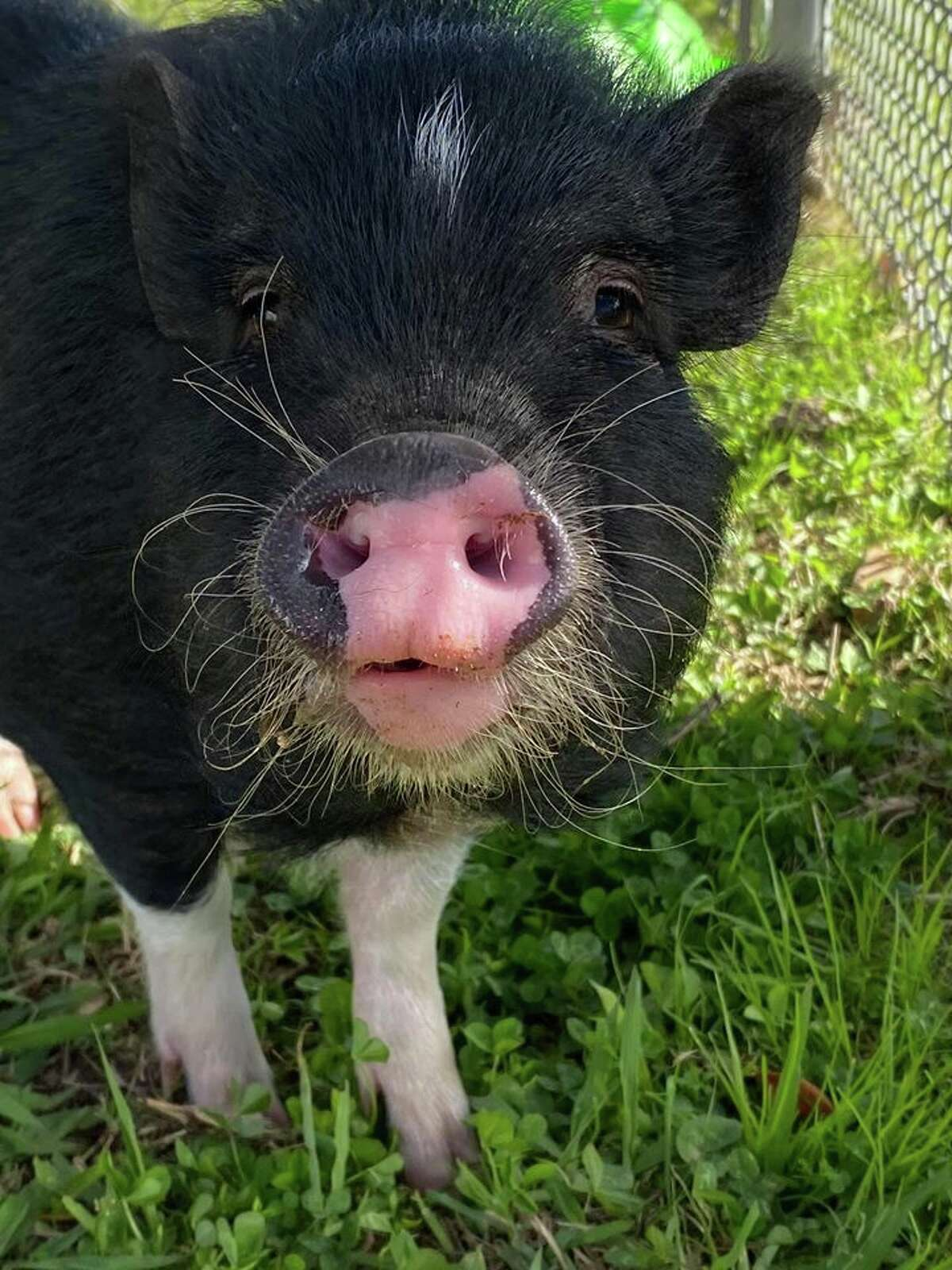 Shelter officials describe the animal as an ultra-friendly pig that loves kisses and pets. The well-behaved pig appeared clean and well-cared for, leading officials to believe she is someone's missing pet.