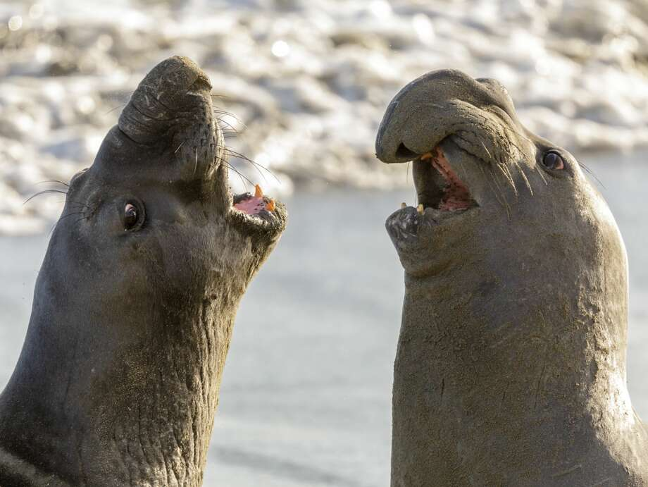 FILE - Northern elephant seals are seen in San Simeon, California. A northern elephant seal was found shot near San Simeon. Photo: Getty Images