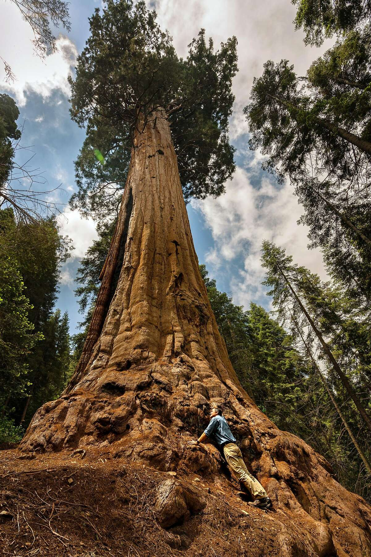 SEQUOIA CREST, CA-- Sam Hodder, President and CEO of Save the Redwoods, stands at the root system of the Stagg giant sequoia tree at Alder Creek on Friday, June 21, 2019. Mike Rouch and his brother Skip are selling a 530-acre stand of giant sequoia surrounded on three sides by Giant Sequoia National Monument and Sequoia National Forest. The stand of 500 ancient trees, called Alder Creek, is as large and magnificent as Yosemite�s Mariposa Grove of Giant Sequoias and holds the title of the world�s largest privately owned sequoia forest in the world -- but that title will only last until September when a deal by Save the Redwoods League to buy Alder Creek goes through.